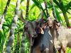 El potencial de la caña de azúcar para la alimentación de bovinos
