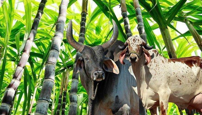 Utilizacion de la caña de azucar para la alimentacion ganaderia bovina y fincas ganaderas