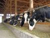 La alimentacion del animal influye en el sabor del queso