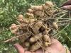El mani sembrado en surcos mas estrechos produce mayores rendimientos