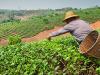 Una breve historia de la agricultura, la domesticación y la diversidad de los cultivos